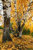 Fall yellow birch grove Royalty Free Stock Photos