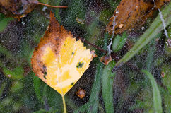 Fall yellow birch leaf Stock Image