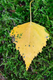 Fall yellow birch leaf Royalty Free Stock Images