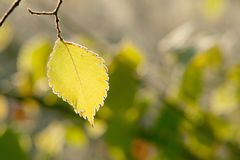 Fall yellow foliage with morning frost. Single Autumn leaf with morning frost in the light of the rising sun Stock Photos