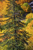 Fall Yellow Green Colors Mountain Stevens Pass Washington Royalty Free Stock Images