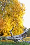 Fall yellow leaves on tree with dead tree trunk in foreground royalty free stock images
