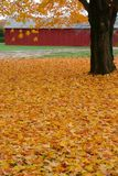 Fall: yellow maple leaves Stock Photos