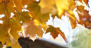 Fall yellow maple leaves. A Fall yellow maple leaves stock footage