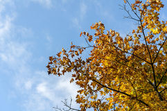 Fall yellow maple leaves in the blue sky Royalty Free Stock Images