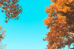 Fall yellow and orange maple leaves on blue sky. Background banner Royalty Free Stock Image
