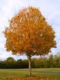 Fall-Zuckerahornholz Stockfotografie