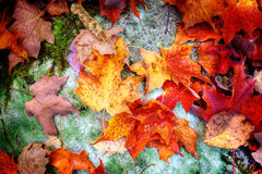 Fallahornblätter auf Waldboden Stockfoto