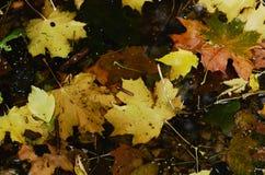 Fallahornblätter im Wasser Stockfoto