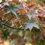 Fallahorne - Acer-palmatum am botanischen Garten Stockfoto