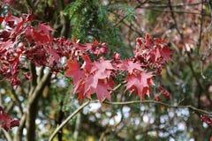 Fallahorne - Acer-palmatum - am botanischen Garten Lizenzfreies Stockfoto