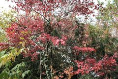 Fallahorne - Acer-palmatum - am botanischen Garten Lizenzfreie Stockfotografie
