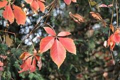 Fallahorne - Acer-palmatum - am botanischen Garten Stockfoto