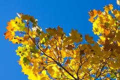 Fallahornholzblätter im blauen Himmel Stockfotos