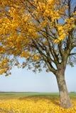 Fallande gulingsidor Fotografering för Bildbyråer