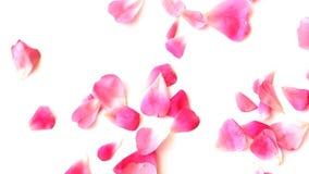 Fallande kronblad av en rosa färgros på vit bakgrund t