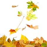 fallande leaves Royaltyfri Bild