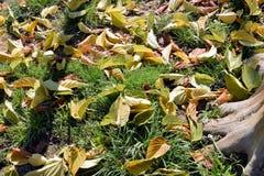 fallande leaves för höst Royaltyfri Foto