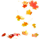 fallande leaveslönn arkivbild