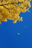 fallande leavesyellow Royaltyfri Foto