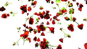 Fallande röda rosor på vit bakgrund stock video