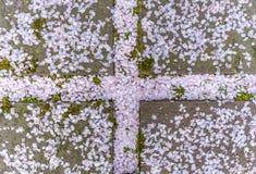 Fallande Sakura sidor Royaltyfri Fotografi