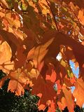 Fallblätter, die Farben ändern Stockfotografie