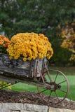 Fallblumen, die Mama in der Blüte Stockfotografie