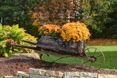 Fallblumen, die Mama in der Blüte Lizenzfreies Stockfoto