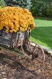Fallblumen, die Mama in der Blüte Stockbilder