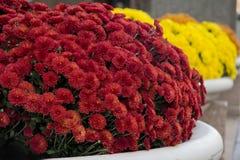 FallChrysanthemums Royaltyfria Bilder