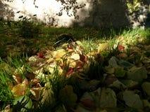 Falled aprikossidor på det nya gröna gräset under färgglade strålar av inställningssolen royaltyfri bild