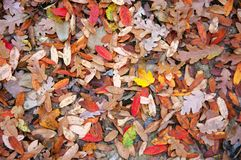 Falled oak leaves on ground as background royalty free stock images