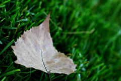 Fallen. Leaf laying in the grass royalty free stock photo