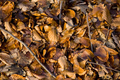 Fallen. A blanket of fallen leaves on a woodland floor. Autumn is here royalty free stock photo