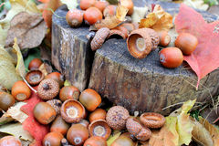 Fallen acorns with dry leaves. In the garden Stock Photo