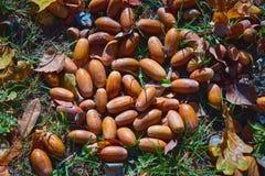 Fallen acorns lie on . stock images
