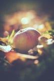 Fallen apple - macro Stock Images