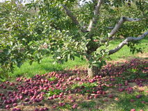 Fallen apples. Apples fallen under a tree Stock Photo