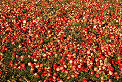 Fallen apples Stock Image
