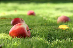 Fallen apples. Royalty Free Stock Images