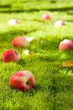 Fallen apples. Stock Image