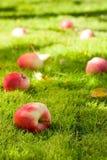 Fallen apples. Stock Image