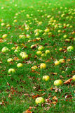 Fallen apples Royalty Free Stock Photo