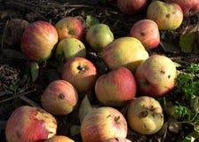 Fallen apples Stock Images