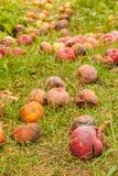 Fallen apples in the garden in autumn stock image