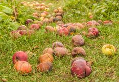 Fallen apples in garden in autumn royalty free stock photo
