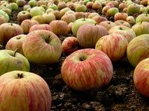 Fallen apples Stock Photography
