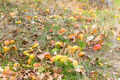 Fallen apples in a meadow royalty free stock image
