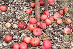 Fallen Apples Royalty Free Stock Photography